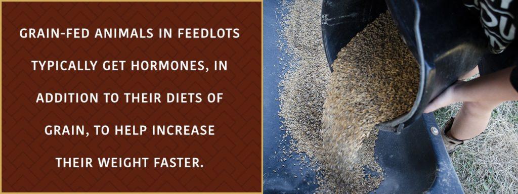 Grain-fed animals in feedlots typically get hormones